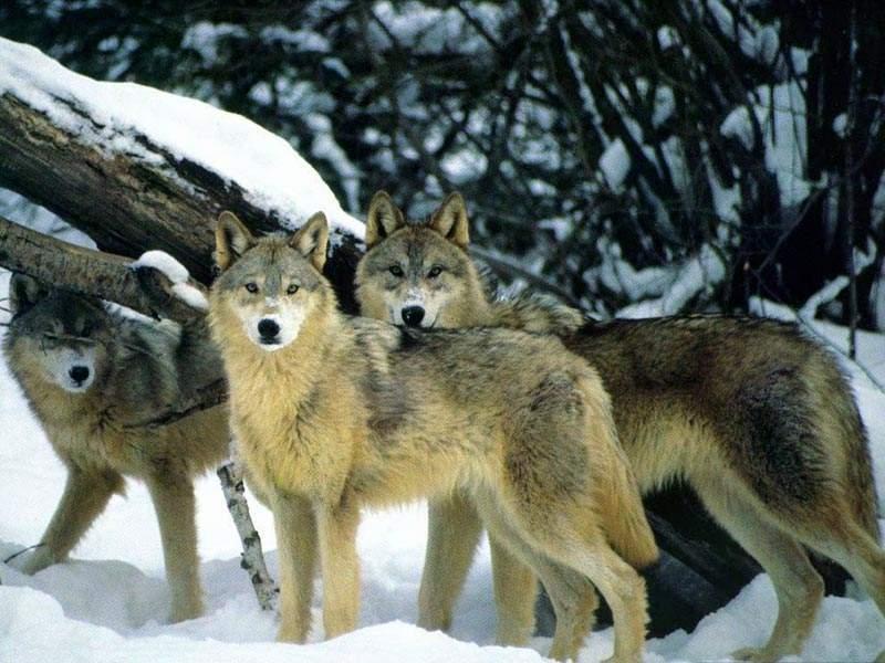 Снится Волк