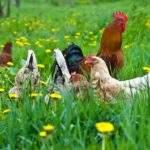 3523 Снится Курица