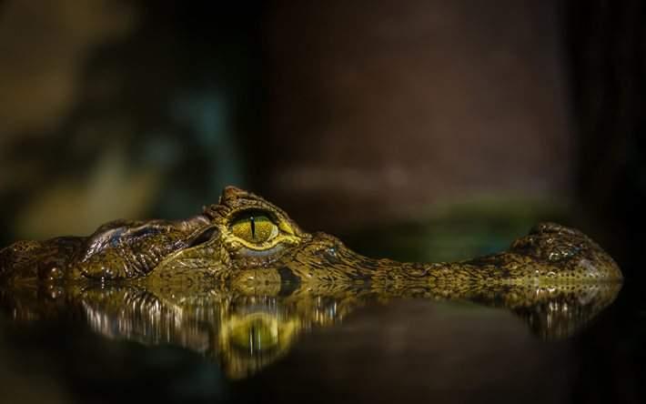 Снится Аллигатор