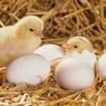 6411 Снятся Цыплята