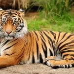 6919 Снится Тигр