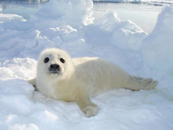 Снится Тюлень