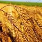 9317 Пшеница