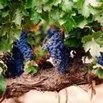 10342 Виноградные лозы