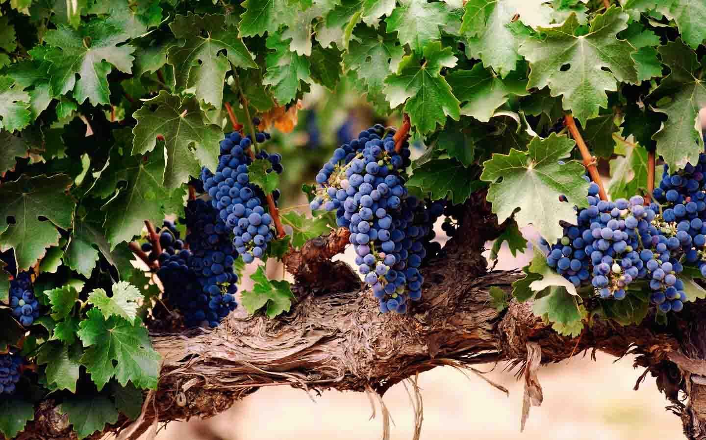Виноградные лозы