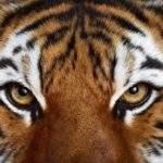 10975 Глаз тигра