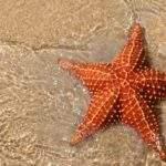 13319 Морская звезда