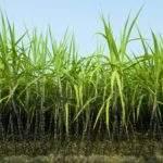 13685 Сахарный тростник