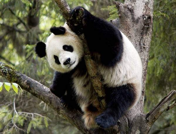 Снится Панда