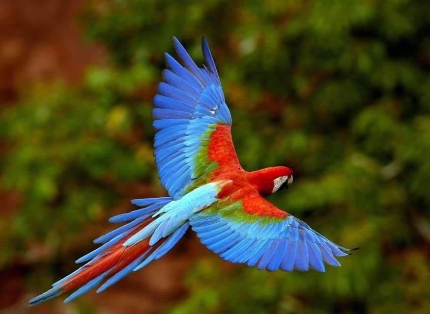 Снятся Длиннохвостые попугаи