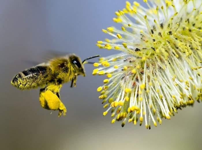Снится Пыльца пчелиная