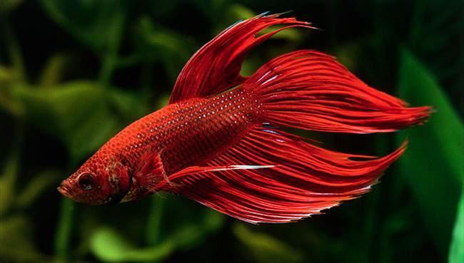 Снится Бойцовая рыбка