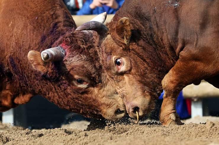 Снится Бой быков