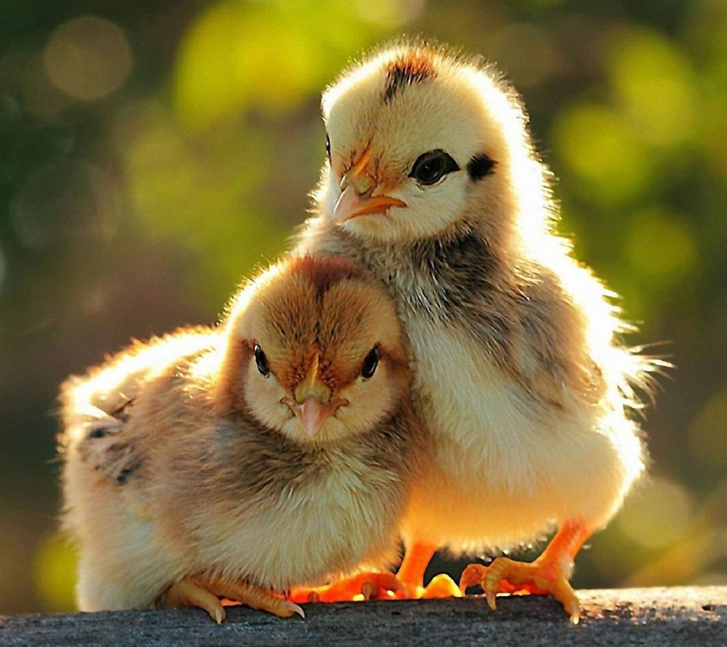 Снится Цыпленок