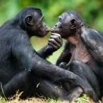 18625 Снится Шимпанзе