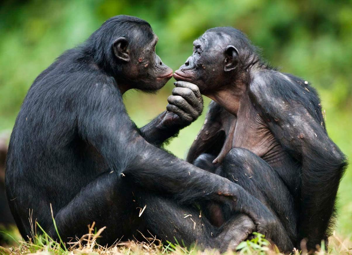 Снится Шимпанзе