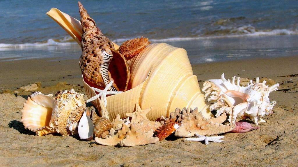 Снится Раковина морская