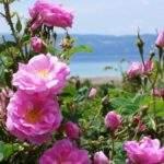 20034 Снится Дамасская роза