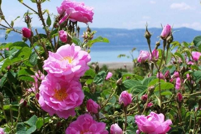 Снится Дамасская роза