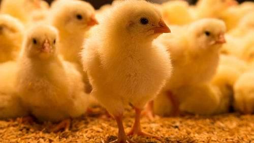 Маленькие цыплята толкование сонника